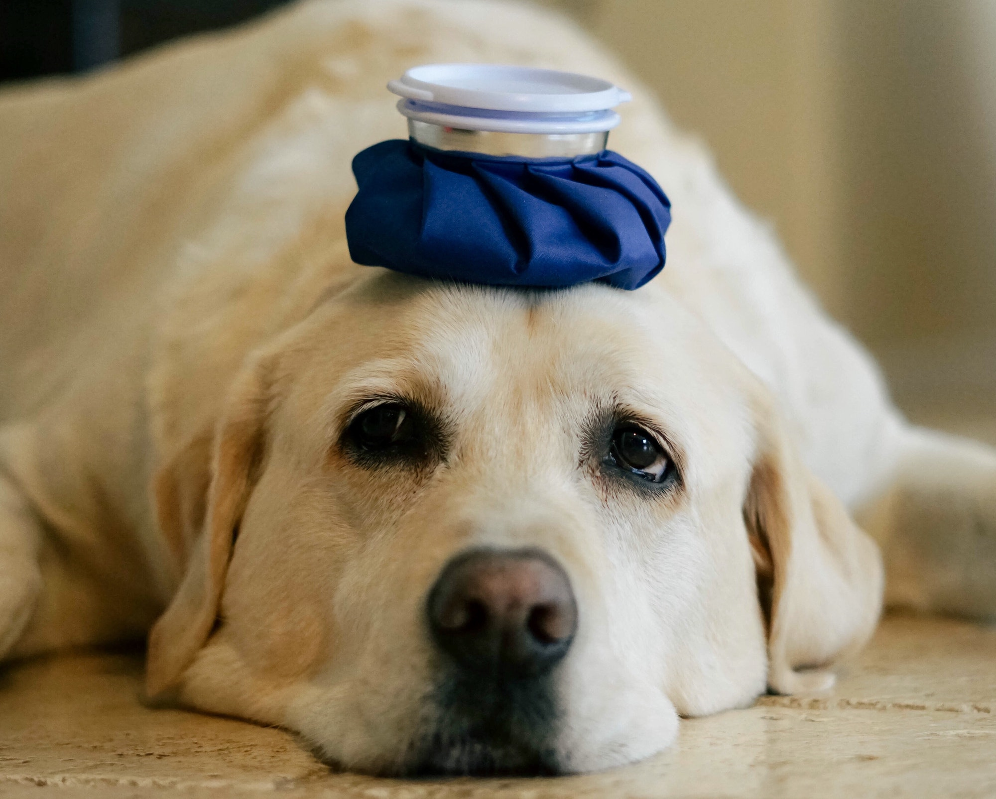 Blue ice pack on a sick dog's head