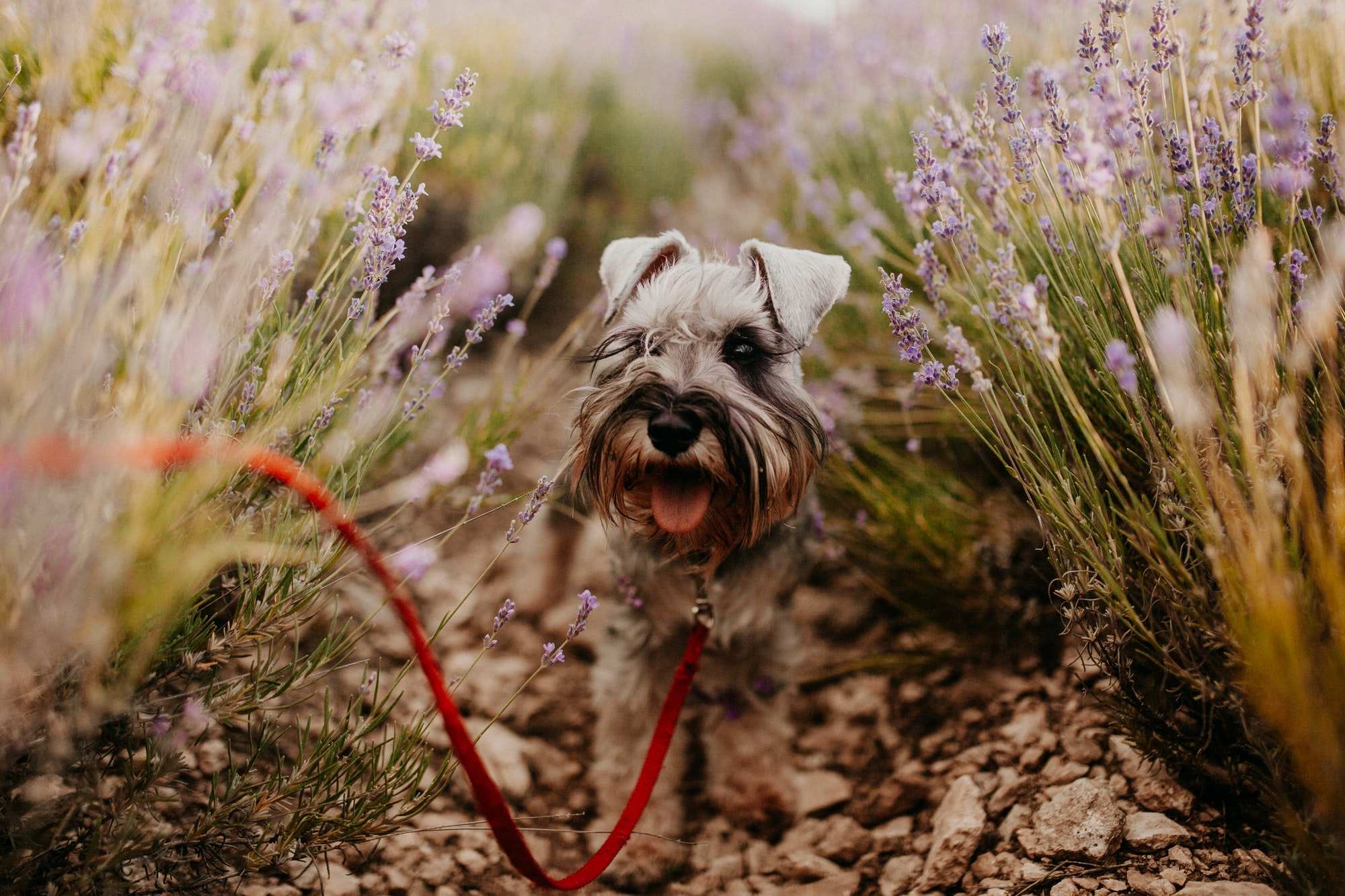 What Is Canine Urolithiasis In Miniature Schnauzers?