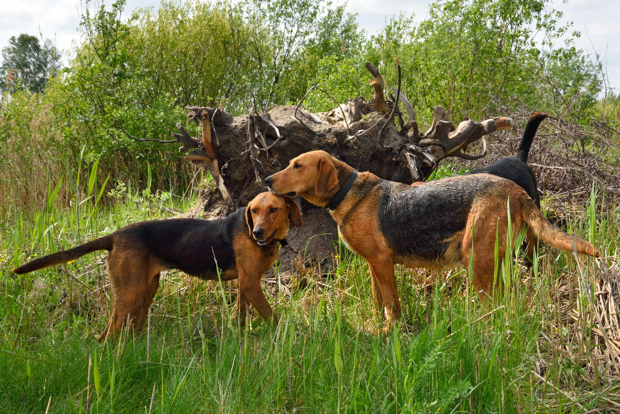 Hunting Dogs Vs Show Dogs – What's the Difference?