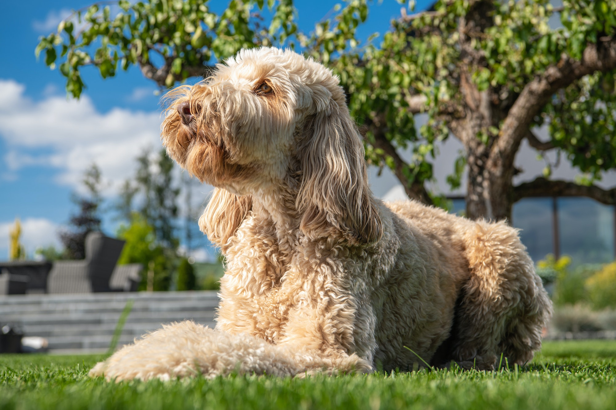 Obedient Goldendoodle Dog Relaxing in the Sun