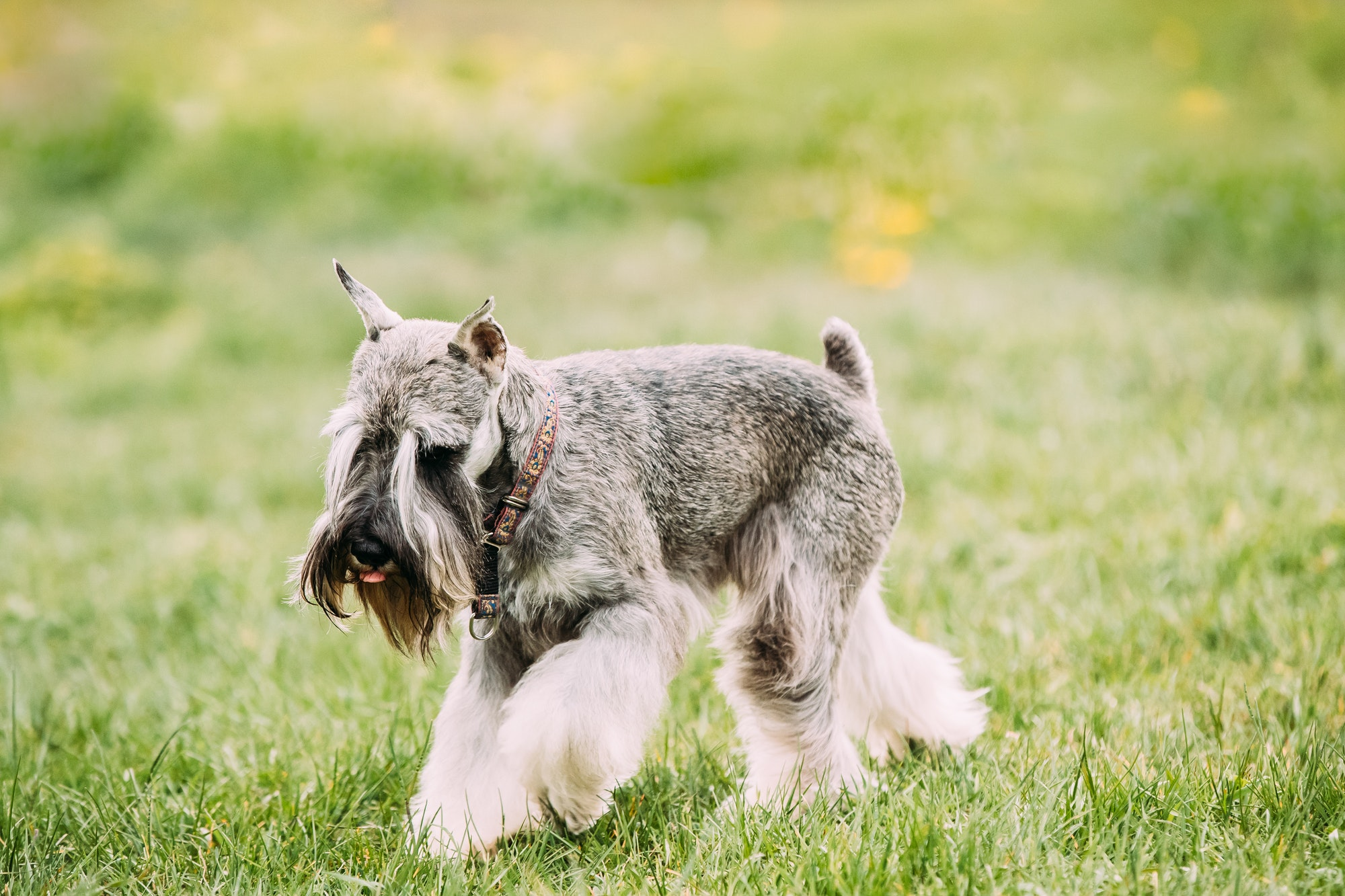 AKC Requirements For a Miniature Schnauzer