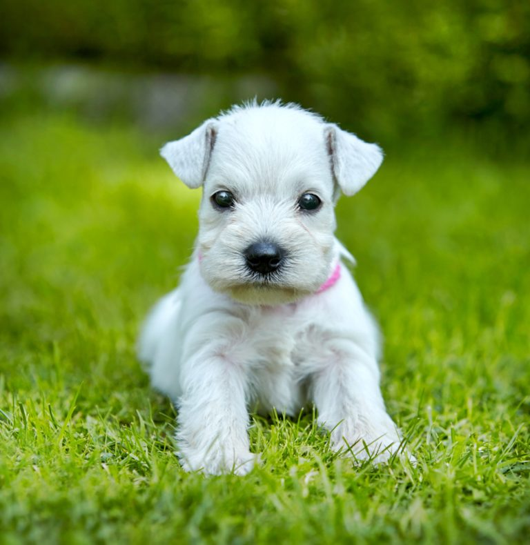 Your Best Pet May Be A Miniature Schnauzers